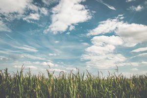 champ de blé ciel bleu et nuages